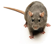 Rodent Control West Wickham, Rodent Pest West Wickham, Rodent Removal West Wickham, Rat Control West Wickham, Rat Pest West Wickham, Rat Removal West Wickham, Mouse Control West Wickham, Mouse Pest West Wickham, Mouse Removal West Wickham, Mice Control West Wickham, Mice Pest West Wickham, Mice Removal West Wickham