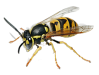 Wasp Control West Wickham, Wasp Pest West Wickham, Wasp Removal West Wickham